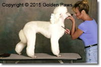 white poodle dog grooming Golden Paws