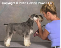 schnauzer dog grooming Mitzi Parish Golden Paws